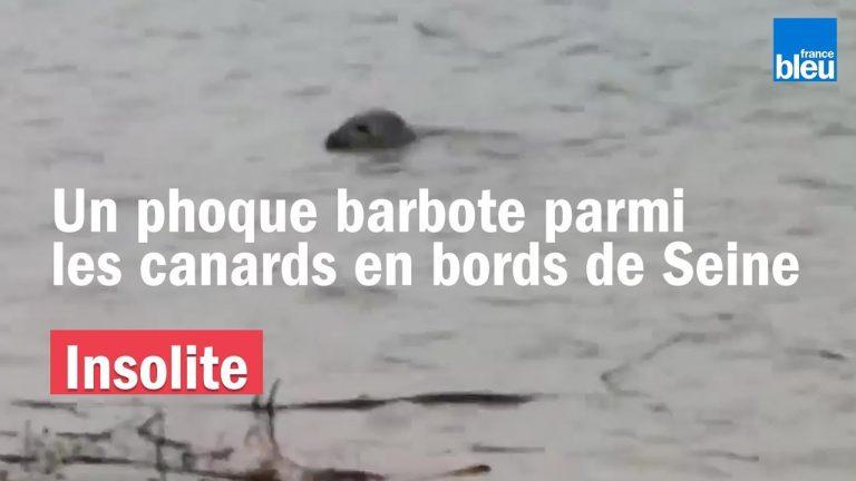 INSOLITE : Un phoque se balade sur les bords de Seine