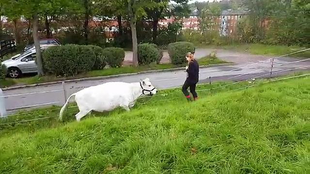 INSOLITE : une vache joue au foot avec une fermière !