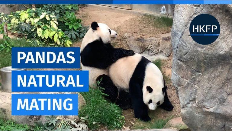 Deux pandas réussisse enfin à s'accoupler après 10 ans d'attente !